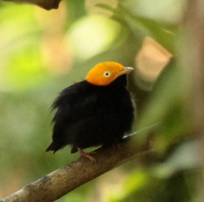 Golded Headed Manakin