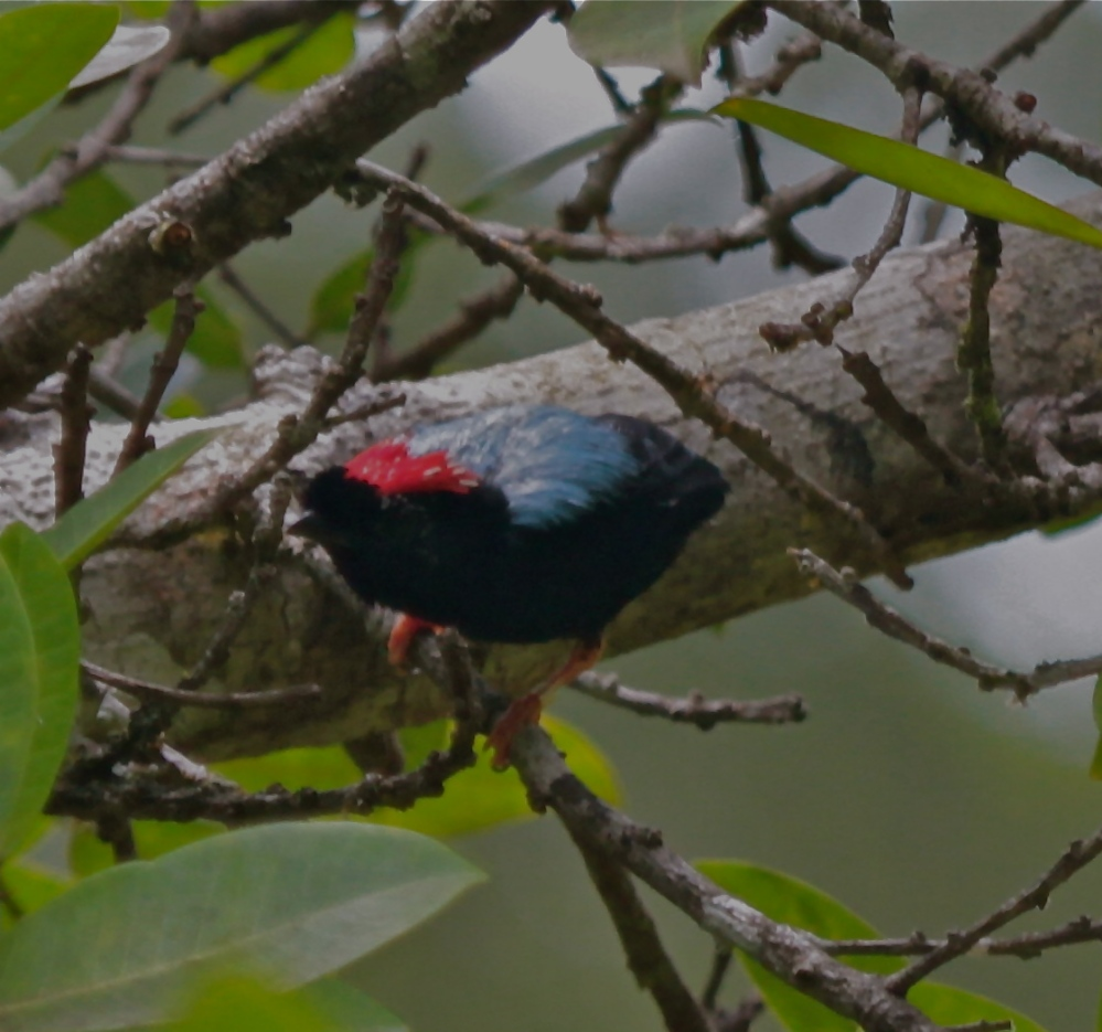 Blue Backed Manakin