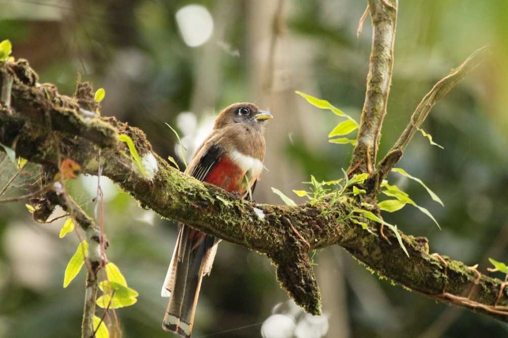 White collared trogon