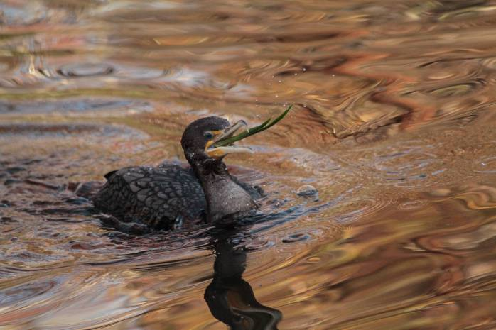 Feeding cormorant
