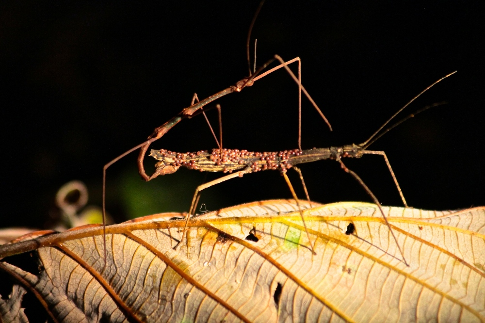 Stick insects in the dark