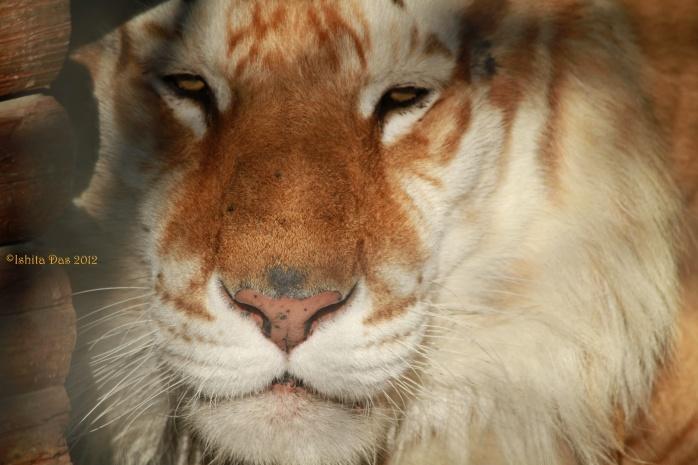 Strawberry Tiger