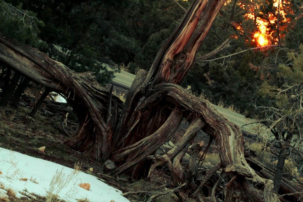 Split tree and sunset