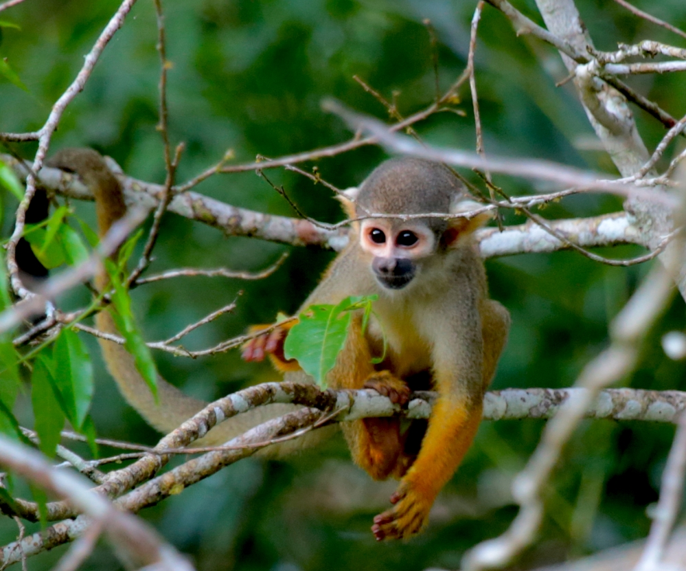Common squirrel monkey-1