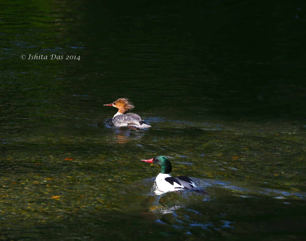 Common Merganser - water marked-1