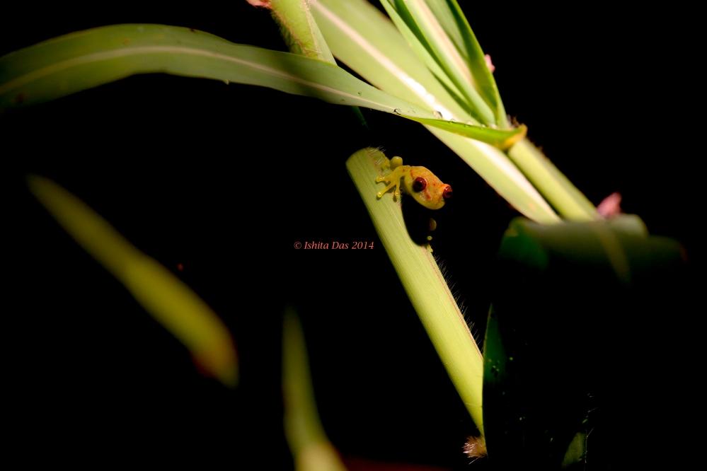 Peeping frog: Polkadot tree frog