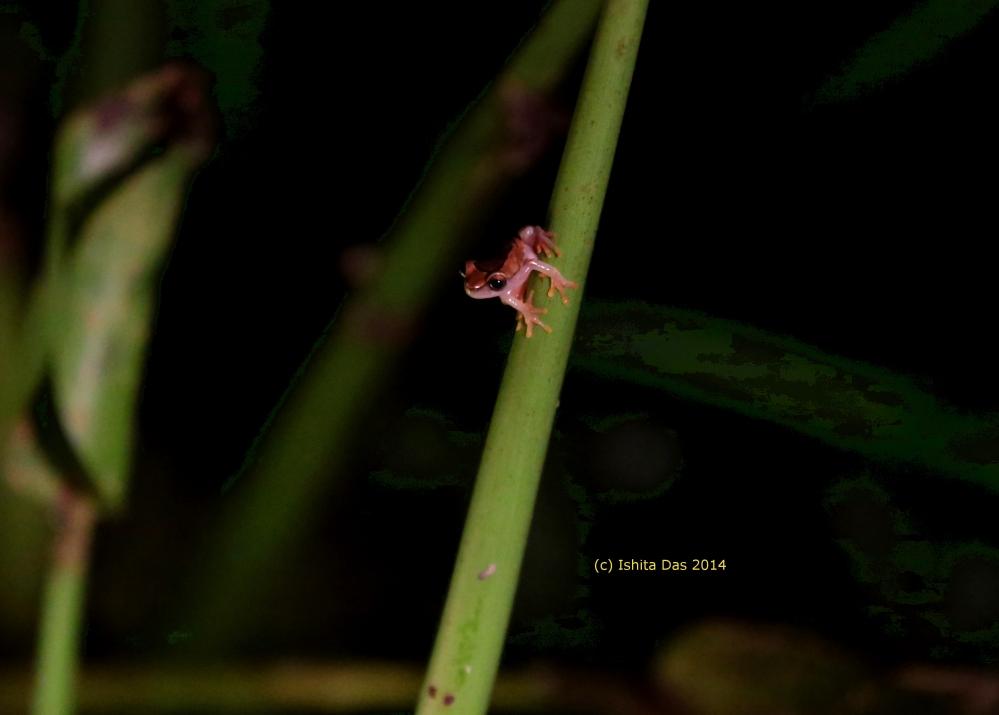 Glass tree frog