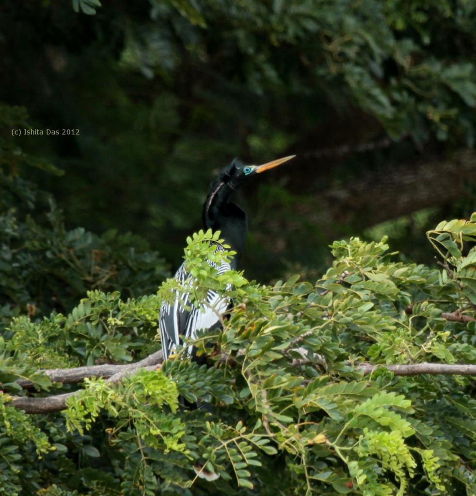 Trinidad anhinga-wm