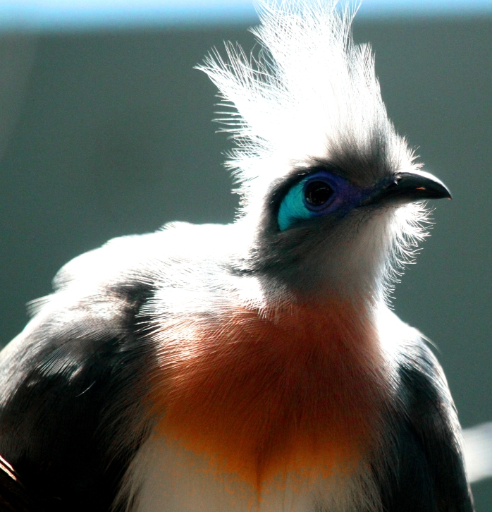 Crested coua 1