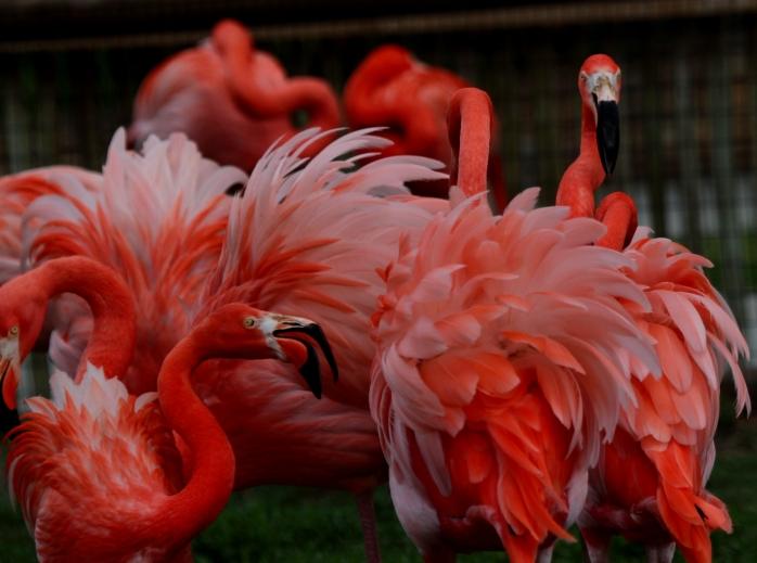Flamingos in fight