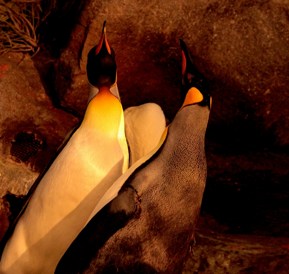 Emperor penguin songs