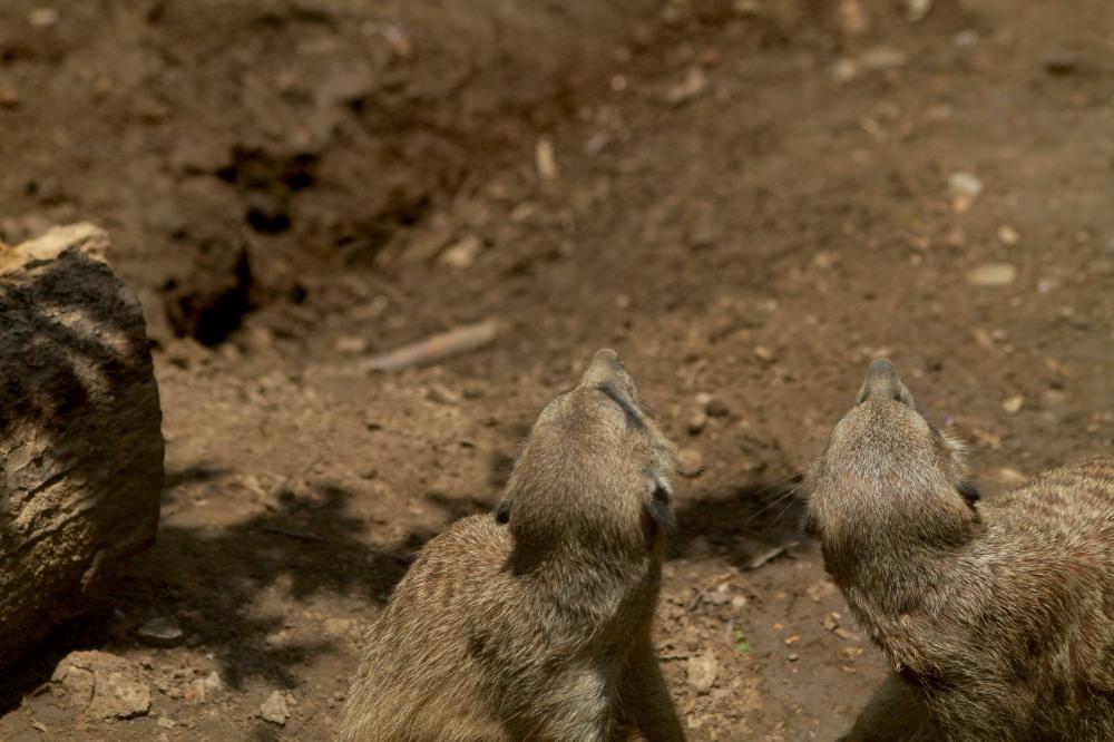 meerkats looking up
