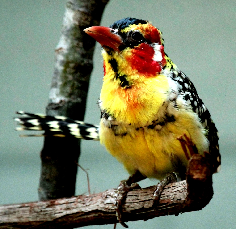 Red yellow Barbet- front