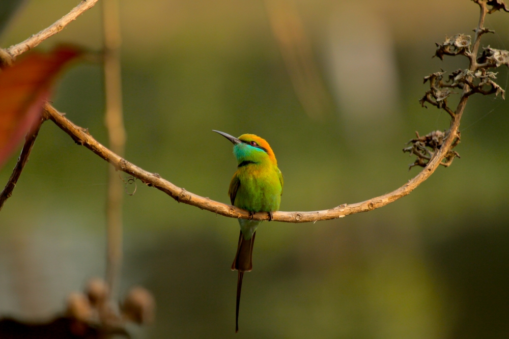 small bee eater - very good