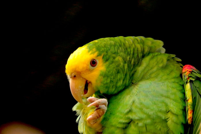 yellow headed parrot-endgandered