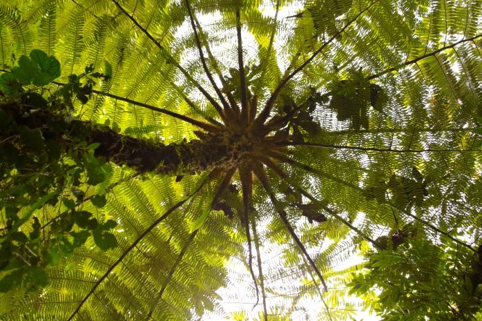 Monteverde fern tree