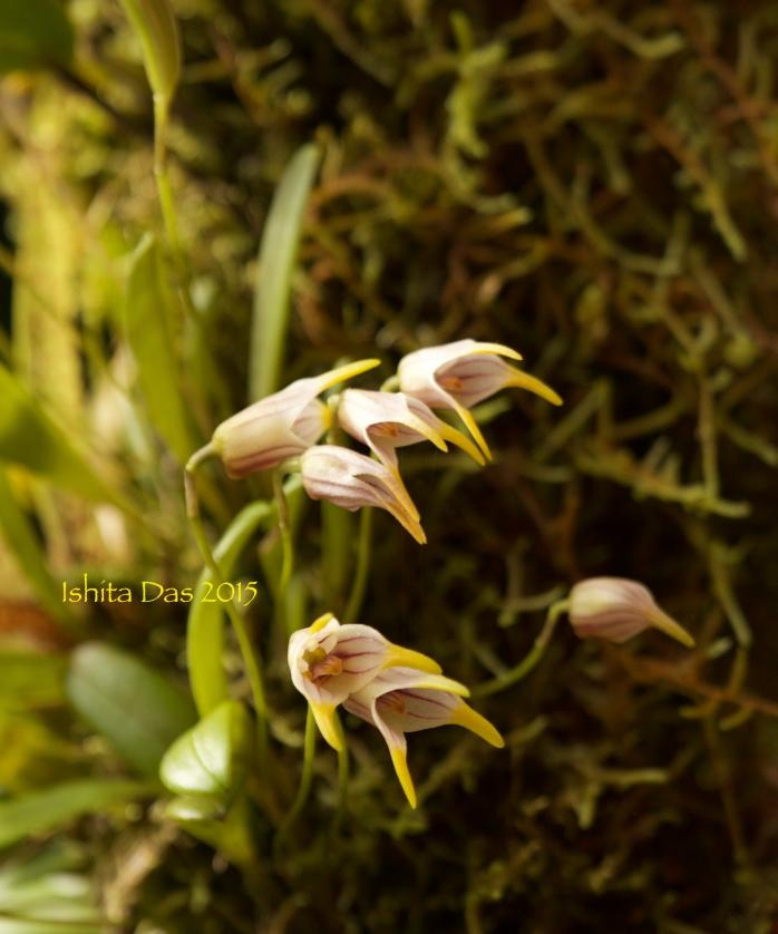 Monteverde orchids-wm