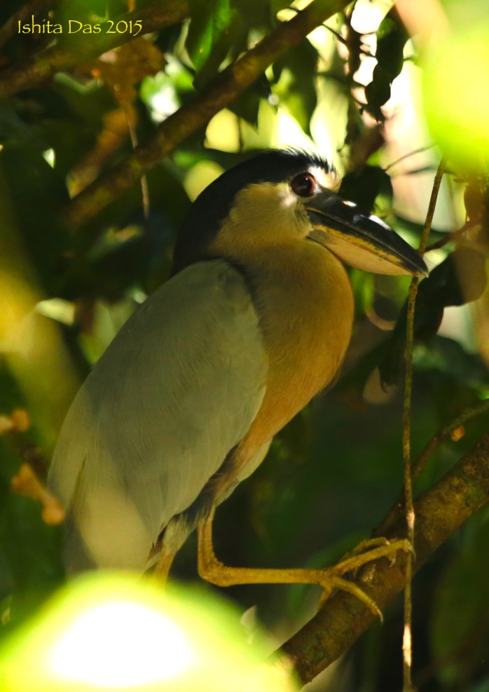 Boat billed heron-wm