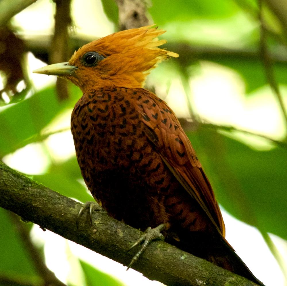 Chestnut colored woodpecker-4
