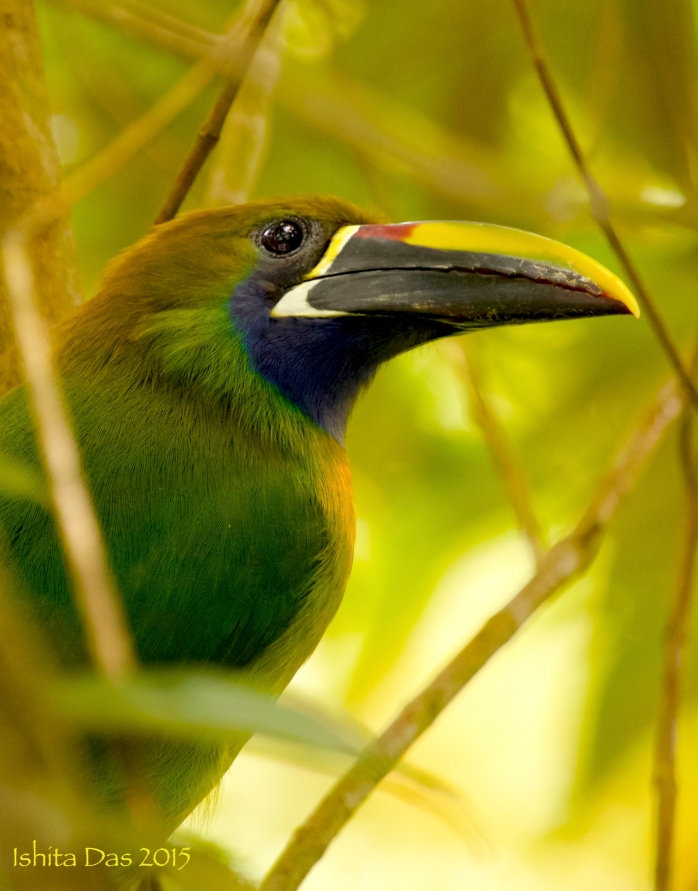 Emerald toucanette -wm