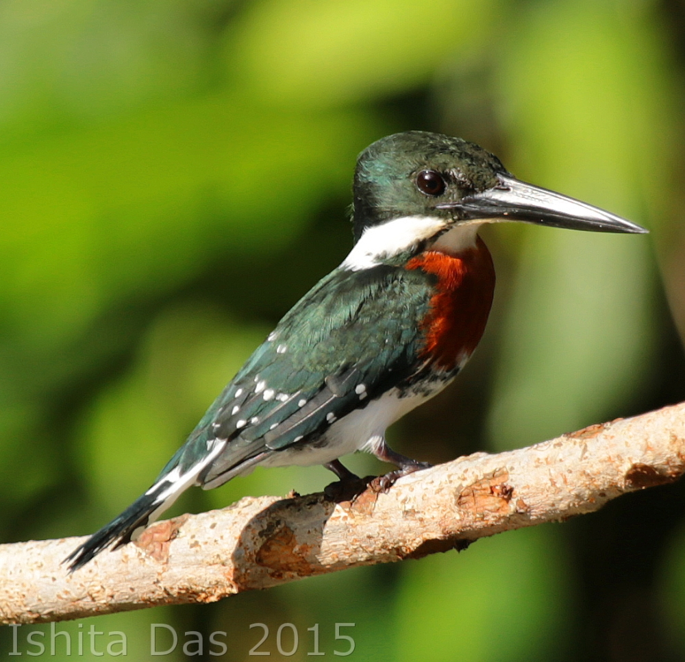 Green kingfisher-tort-wm