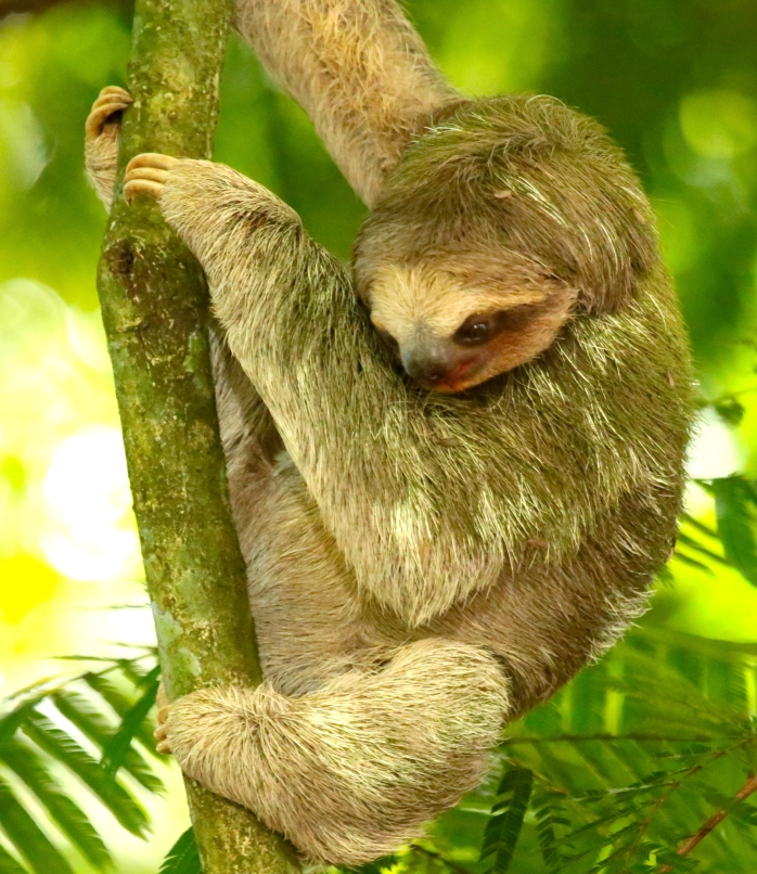 see the toes of three toed sloth