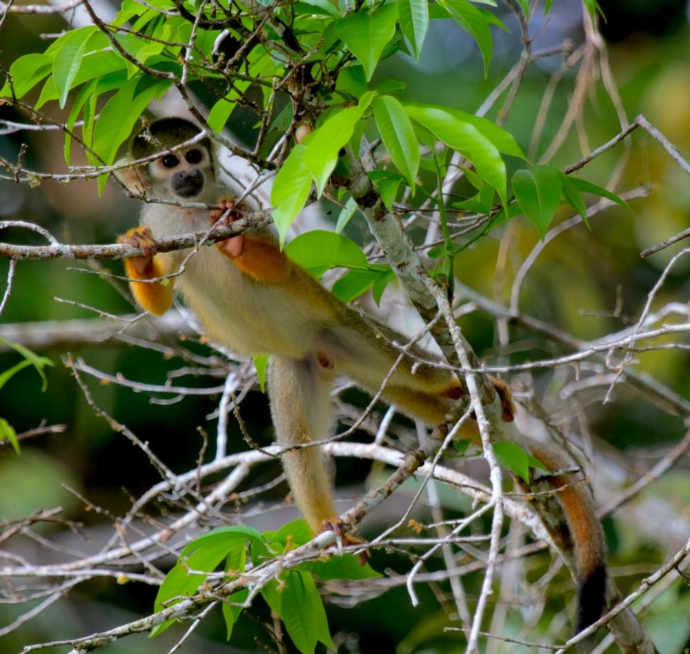bolivian-squirrel-monkey-1