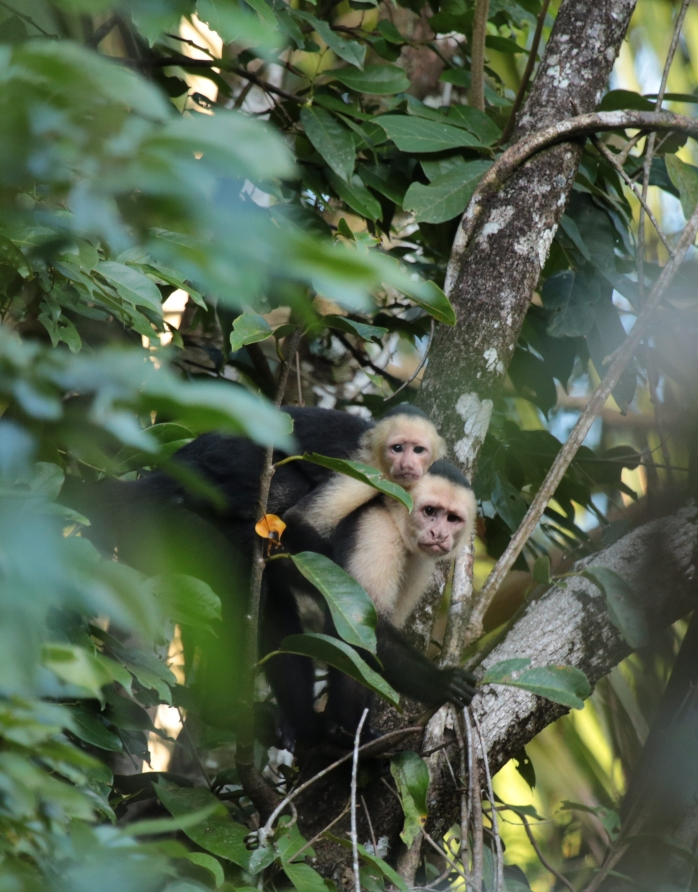 mother-and-baby-capuchin-tort