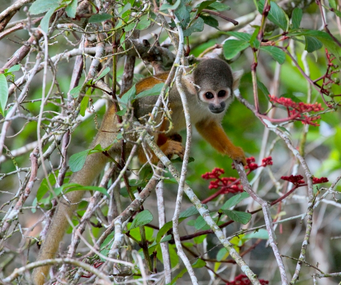 squirrel-monkey-id-2