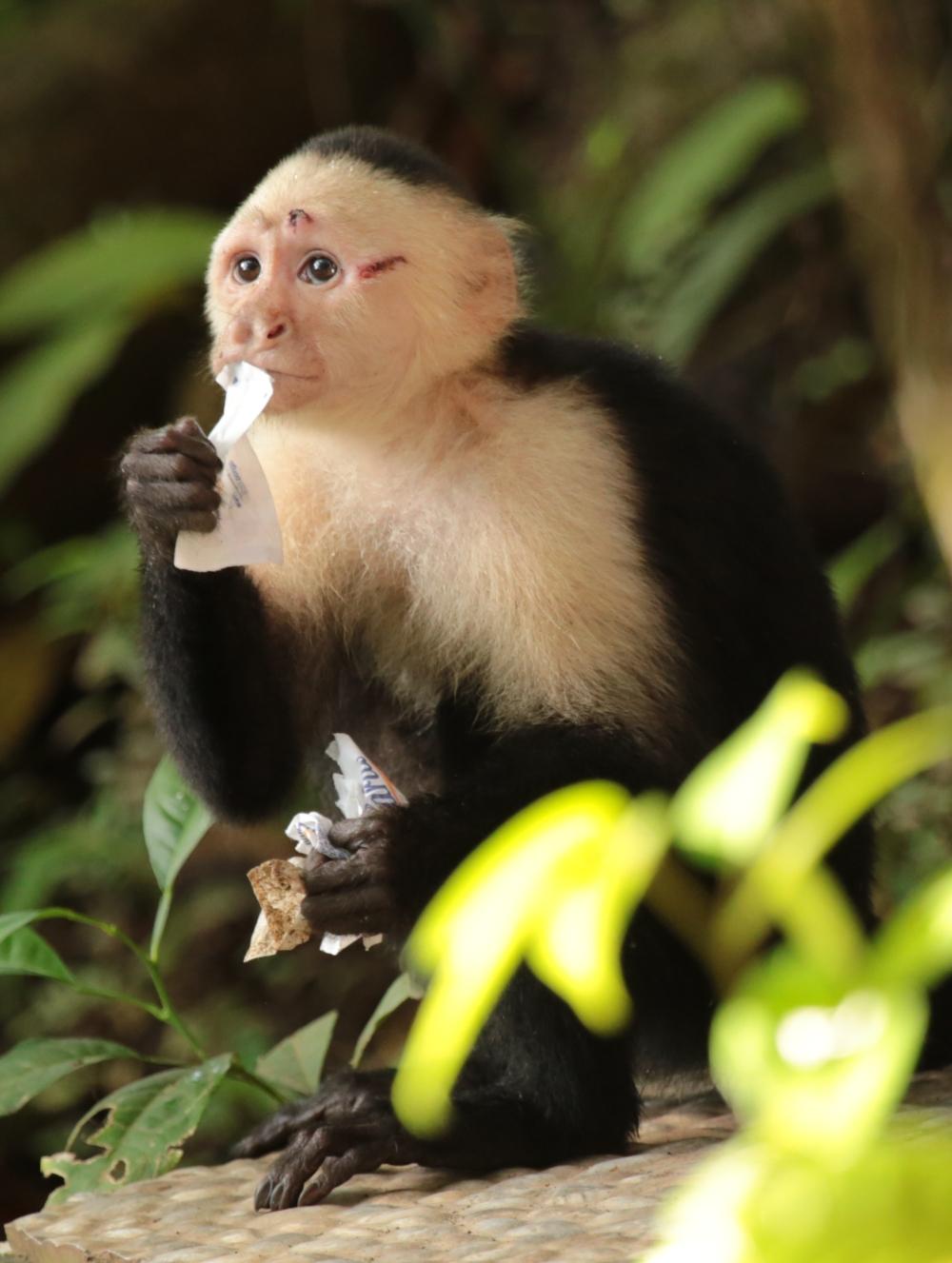 sugar-monkey