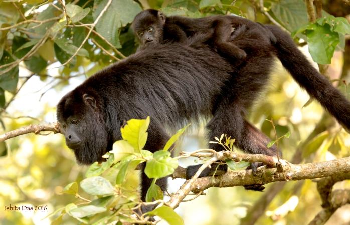 yucatan-howler-monkey-with-baby-wm