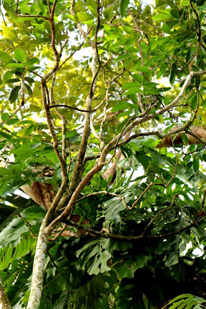 copal-tree-youngish