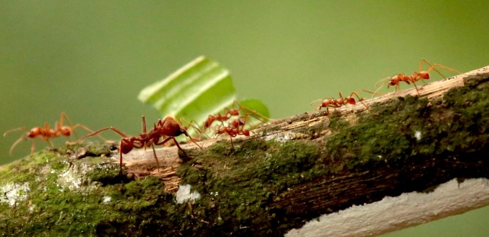 leaf-cutter-ant-soldier-good