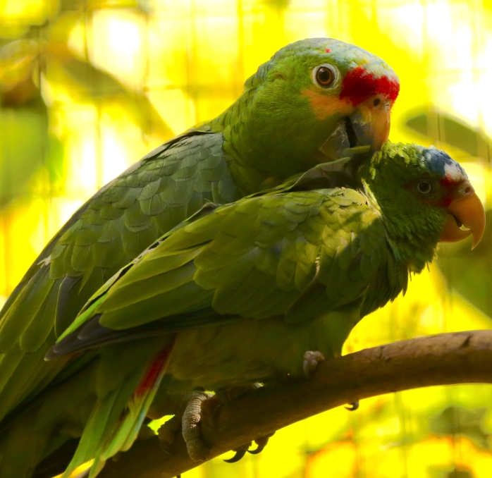 mealy-parrot-scratching-back