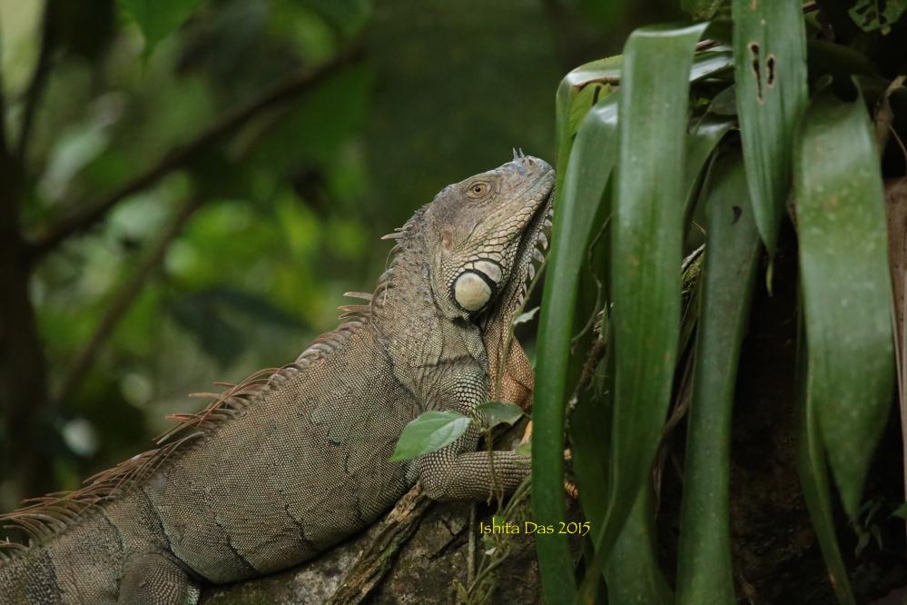 tree-iguana-wm