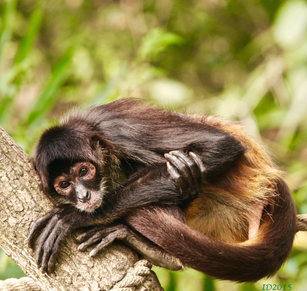 spider monkey-wm