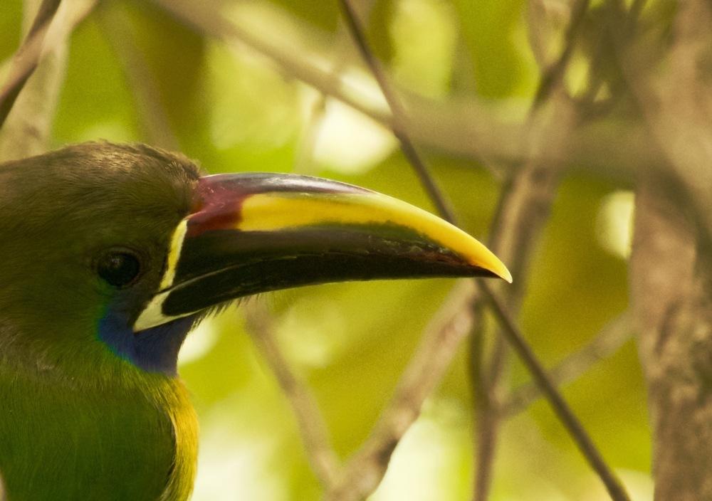 emerald toucanet bill-good