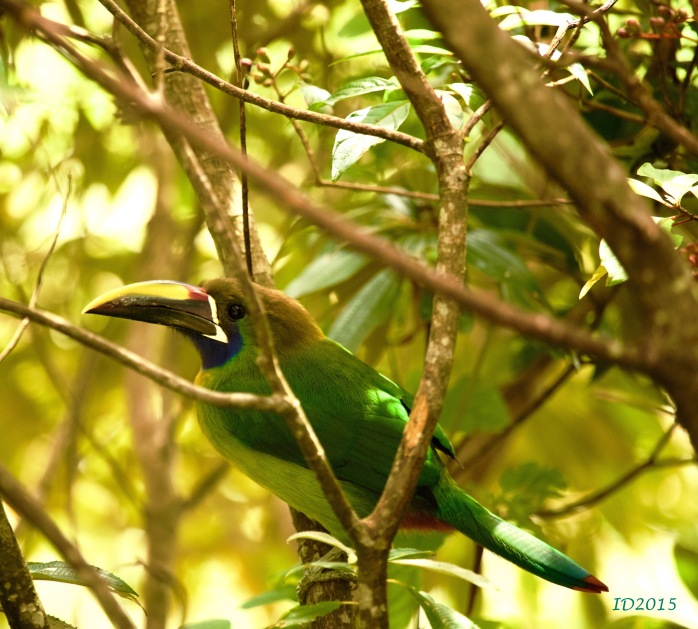 Emerald toucanet-body-wm