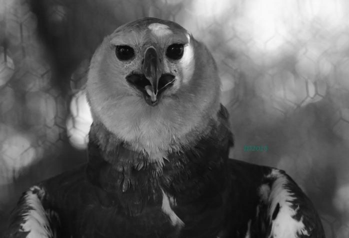 Harpy eagle-wm
