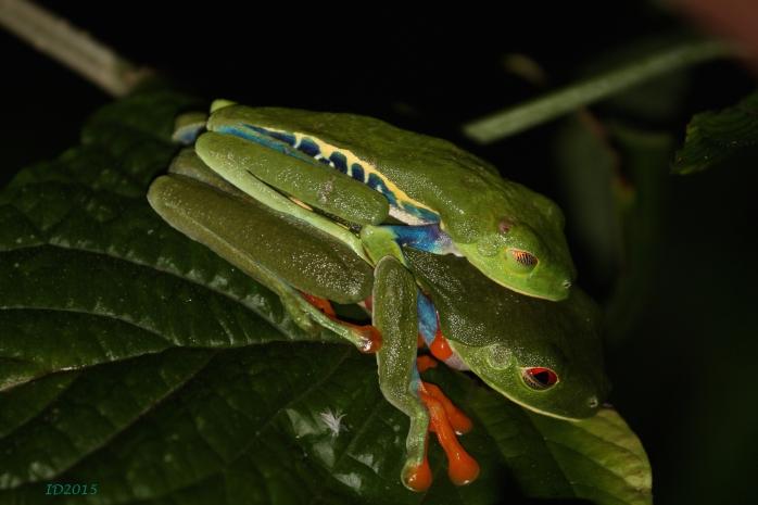 Loving frogs-wm