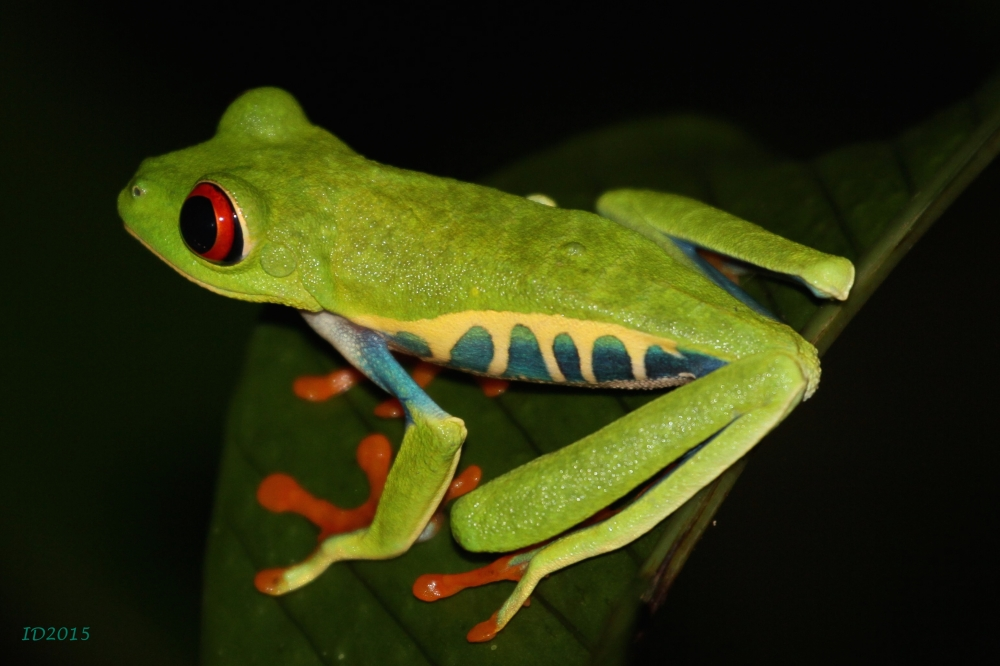 Red eyed frog-2-wm