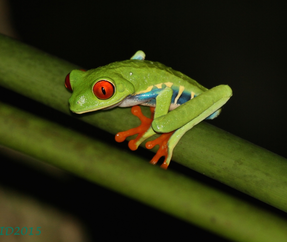Red-eyed frog-pupil small-wm
