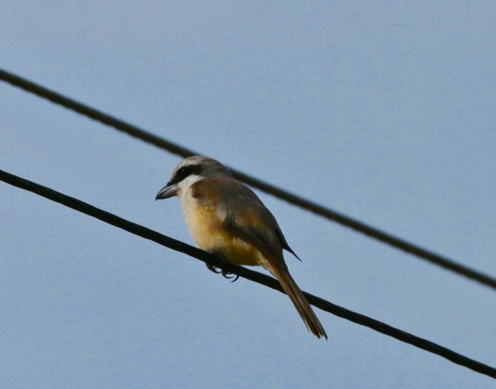 Brown shrike-1