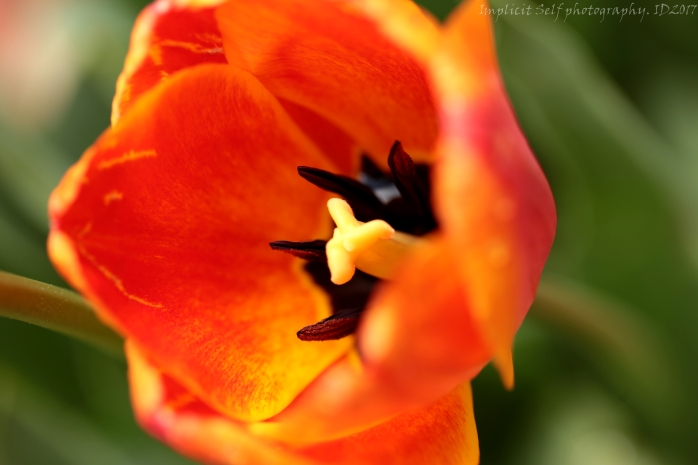Orange tulip- emperor-wm
