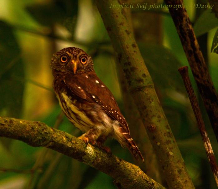ferruginous pygmy owl-wm