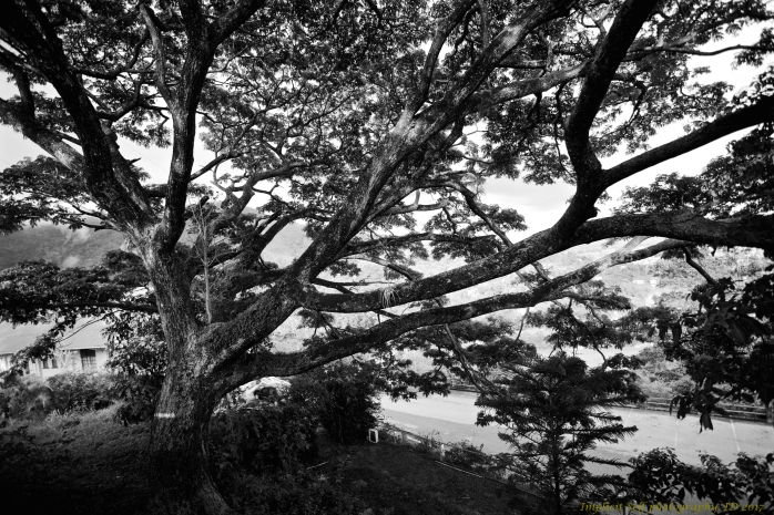 flame tree b-w-wm