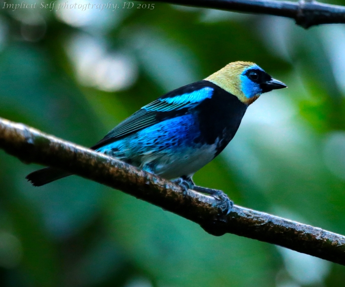 Golden headed tanager-wm
