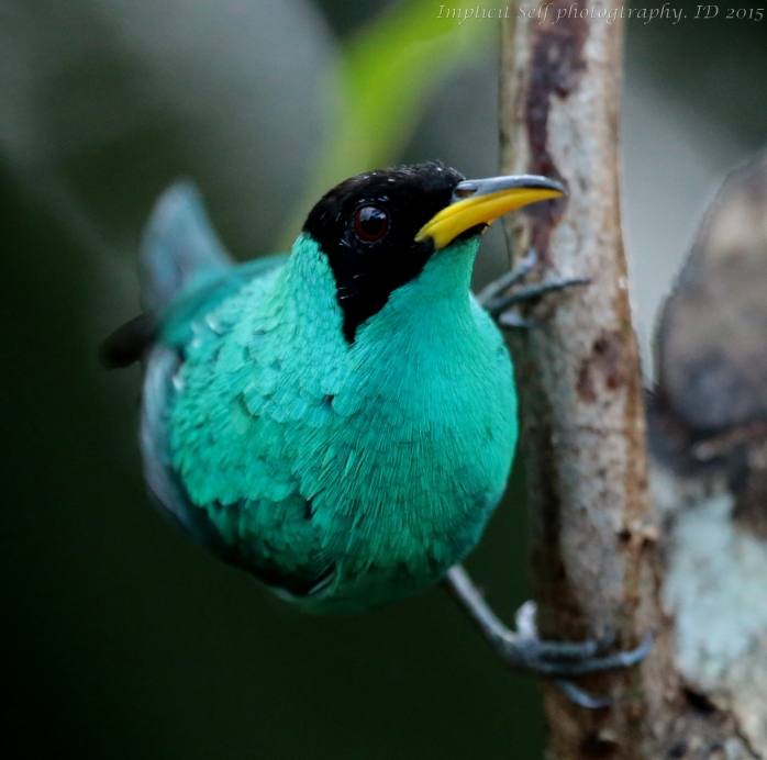 Green honeycreeper-wm