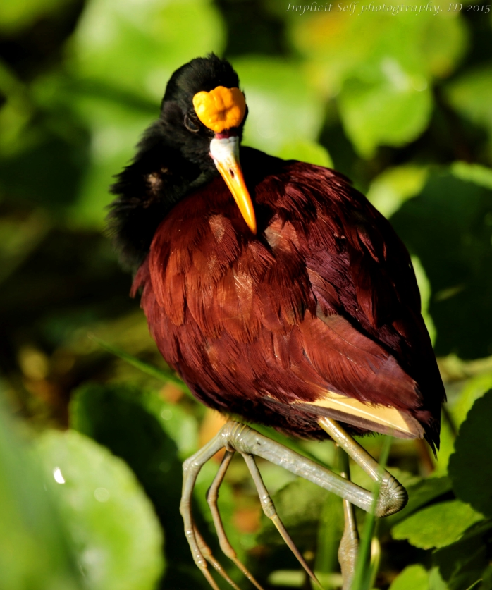 Northern jacana toes-tort-wm