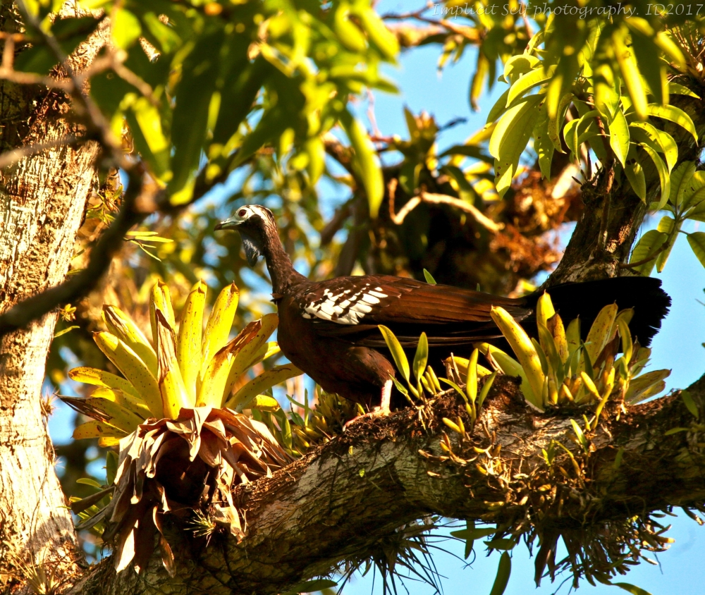 piping guan with epiphyte-1-wm